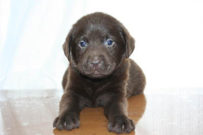 チョコ色のラブラドールの子犬オス