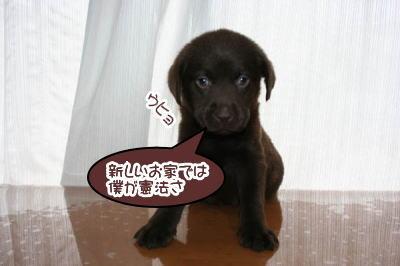 チョコラブの子犬オス