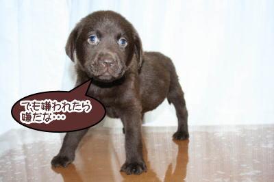ラブラドールチョコの子犬オス