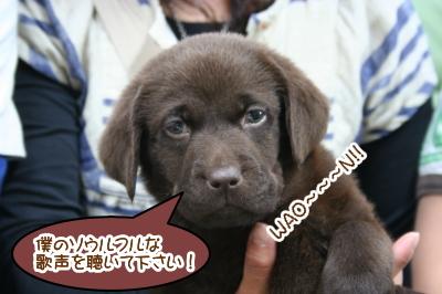 チョコラブの子犬オス画像