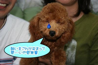 トイプードルレッドの子犬オス生後半年画像