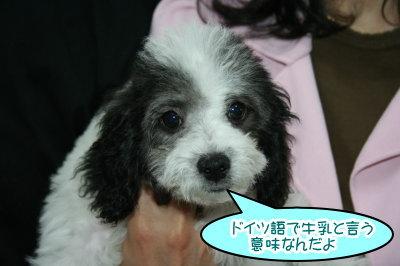トイプードル白黒パーティー子犬オス画像