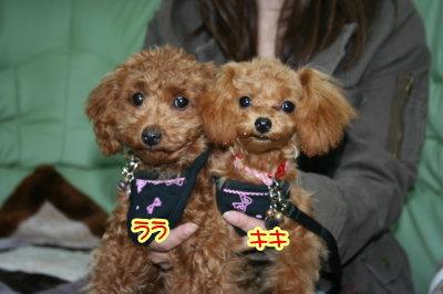 ティーカッププードルレッド子犬メス画像