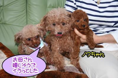 トイプードルレッドの親子犬とティーカッププードルレッド成犬画像
