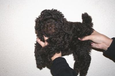 トイプードルブラウンの子犬メス、生後45日画像