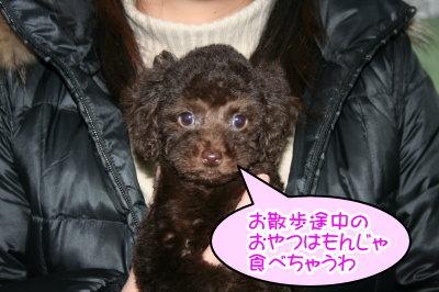 トイプードルブラウンの子犬メス、生後2ヶ月画像