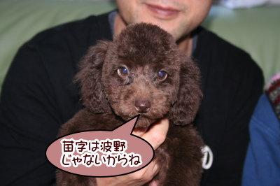 トイプードルブラウンの子犬オス、生後3ヶ月画像