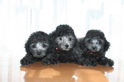 トイプードルシルバー(グレー)の子犬オス1頭メス2頭、生後2ヶ月画像