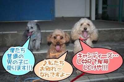 トイプードルレッドアプリコットシルバー成犬画像