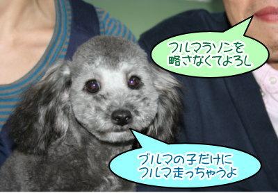 トイプードルシルバーの子犬オス、生後半年画像