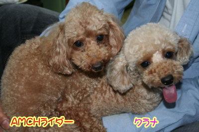 トイプードルアプリコット犬の交配、種オスAMCHライダー画像