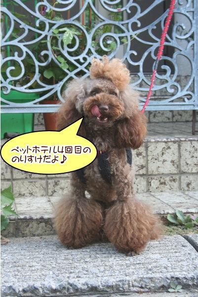 トイプードルブラウンの成犬オス画像
