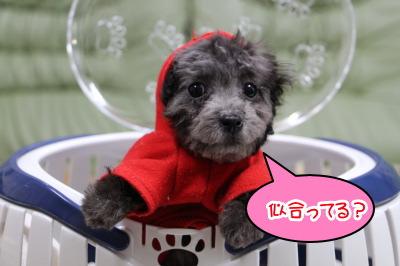 ティーカップサイズのトイプードルシルバー(グレー)の子犬メス、生後2ヶ月半画像