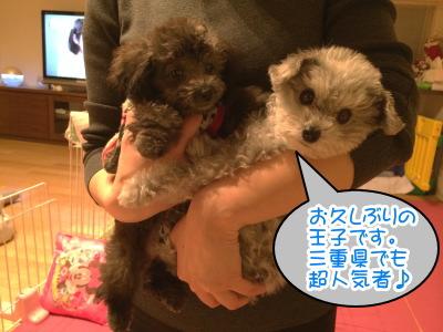 ティーカップサイズのトイプードルシルバー(グレー)の成犬オスと子犬メス生後2ヶ月半画像
