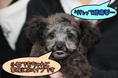 ティーカップサイズのトイプードルシルバー(グレー)の子犬メス、生後3ヶ月画像