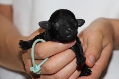 トイプードルブラック(黒色)の子犬オス、生後1週間画像