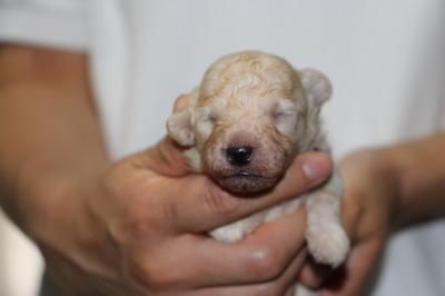 トイプードルホワイト(白色)の子犬オス、生後2週間画像