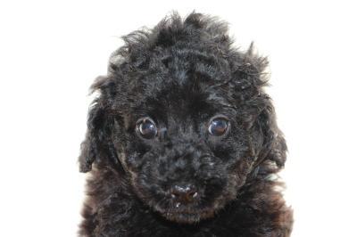 トイプードルブラック(黒色)の子犬オス、生後7週間画像