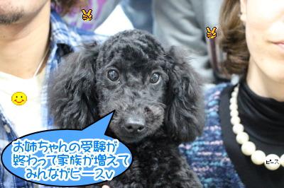 トイプードルブラック(黒色)の子犬オス、生後半年画像