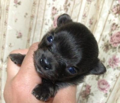 チワワロングブルーの子犬メス、生後3週間画像