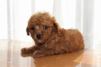 タイニーサイズトイプードルレッドの子犬オス、生後7週間画像