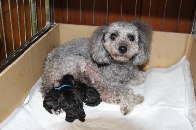 トイプードルシルバー(グレー)産まれたばかりの子犬画像