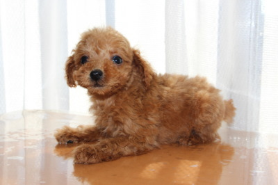 タイニーサイズトイプードルレッドの子犬オス、生後2ヶ月画像