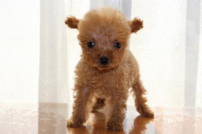 ティーカッププードルアプリコットの子犬メス、生後2ヶ月画像