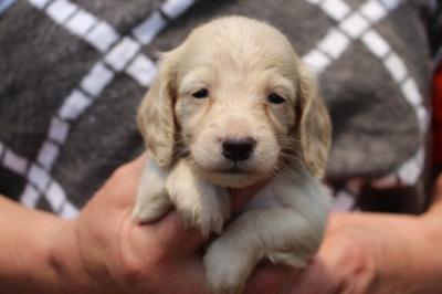 ミニチュアダックスピュアクリームの子犬メス、生後1ヶ月過ぎ画像