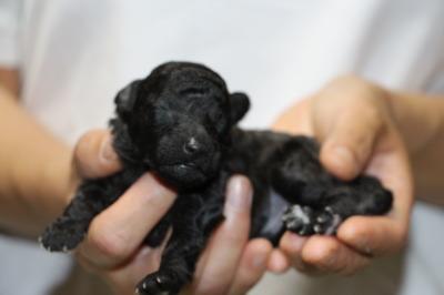 トイプードルシルバー(グレー)の子犬オス、生後1週間画像