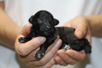 トイプードルシルバー(グレー)の子犬メス、生後1週間画像