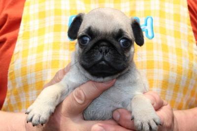 パグフォーンの子犬オス、生後1ヶ月過ぎ画像