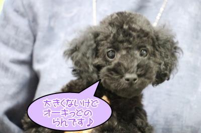 トイプードルブラック(黒色)の子犬メス、生後2ヶ月過ぎ画像