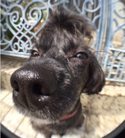 The DOG トイプードル写真