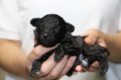 トイプードルシルバー(グレー)の子犬オス、生後2週間画像