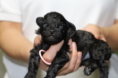 トイプードルシルバー(グレー)の子犬メス、生後2週間画像