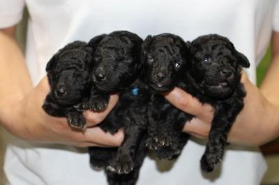 トイプードルシルバー(グレー)の子犬オス2頭メス2頭、生後2週間画像