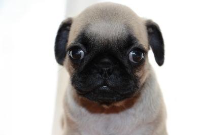 パグフォーンの子犬オス、生後50日画像