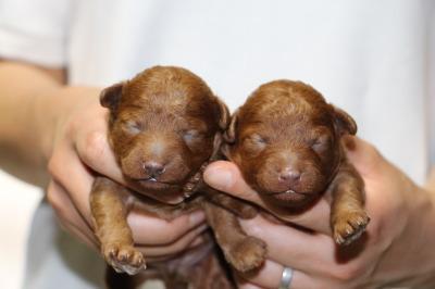 トイプードルレッドの子犬オスメス、生後1週間画像