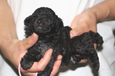 トイプードルシルバー(グレー)の子犬メス、生後3週間画像