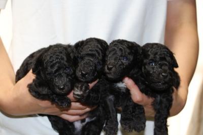 トイプードルシルバー(グレー)の子犬オス2頭メス2頭、生後3週間画像