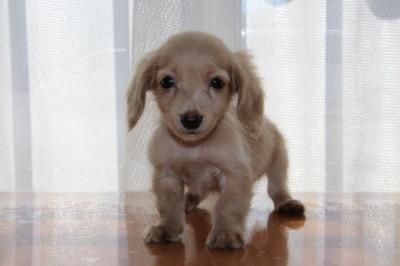 カニンヘンサイズミニチュアダックスピュアクリームの子犬オス、生後2ヶ月画像