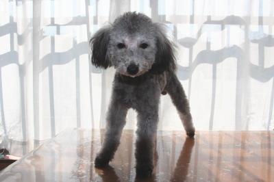 トイプードルシルバーの子犬オス、生後8ヶ月画像