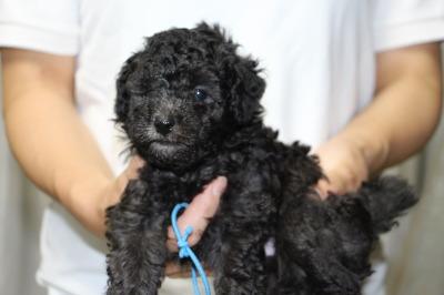 トイプードルシルバー(グレー)の子犬オス、生後5週間画像