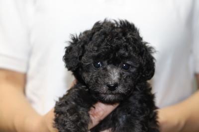 トイプードルシルバー(グレー)の子犬メス、生後5週間画像