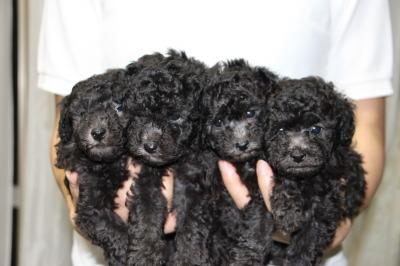 トイプードルシルバー(グレー)の子犬オス2頭メス2頭、生後5週間画像
