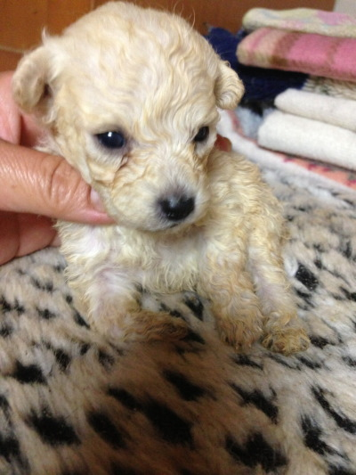 トイプードルホワイト(白色)の子犬オス、生後4週間画像