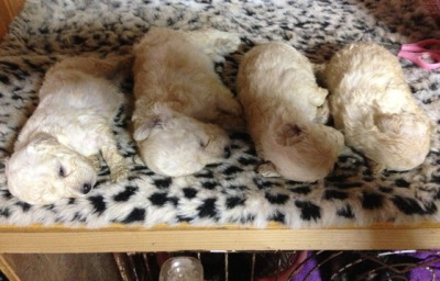 トイプードルホワイト(白色)の子犬オス3頭メス1頭、生後4週間画像
