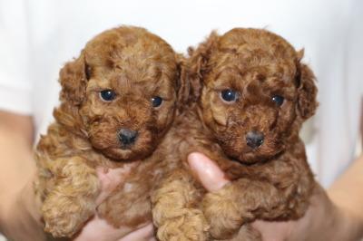 トイプードルレッドの子犬オス1頭メス1頭、生後4週間画像