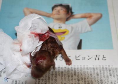 トイプードルレッドのお産(出産)画像